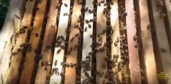 Українська степова порода бджіл місцева лінія весняний розвиток