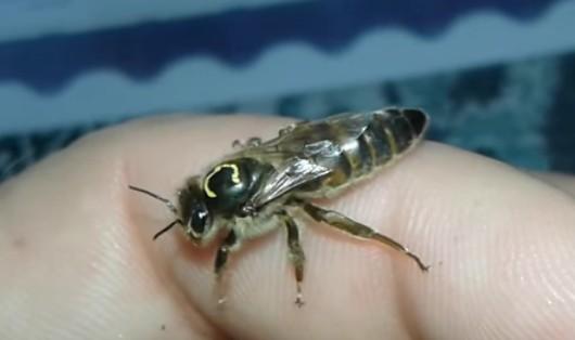 матки бакфаст елгон пчеломатки Элгон