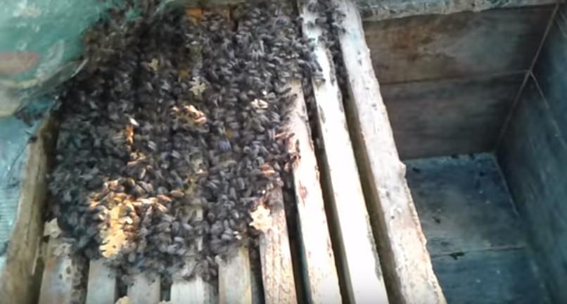пчела итальянская