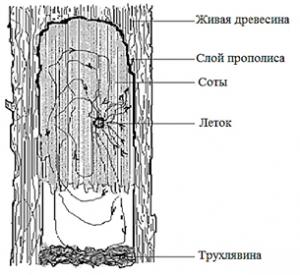 Жилище пчёл в дупле дерева