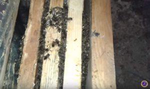 пчелы без расплода в клубе