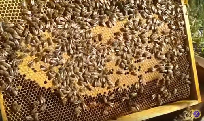 Зимний расплод у пчел