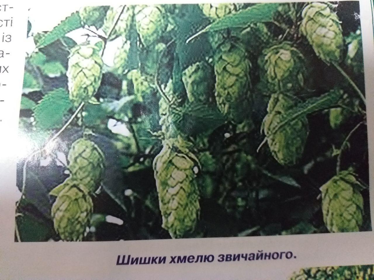 Хміль пилконос