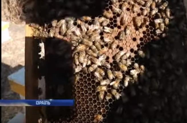 ГМО бджоли в Ізраїлі