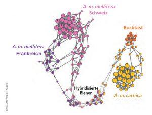 Породи бджіл Бакфаст Карніка та меліфера - діаграма генетична сітка