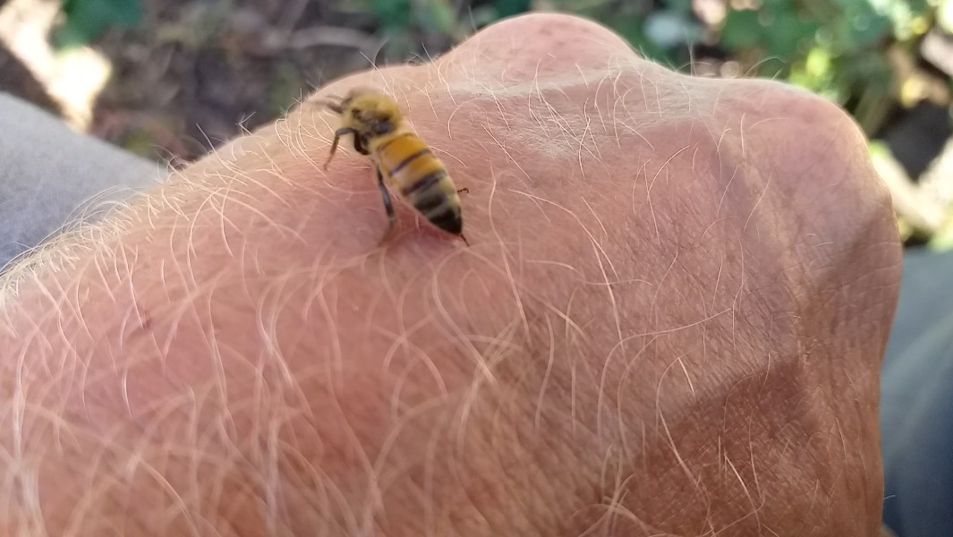 Якщо вжалила бджола що робити?