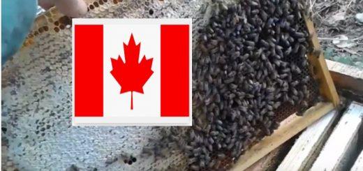 пасічники канада бджільництво