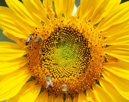 Дресирування бджіл, запилення Соняшника