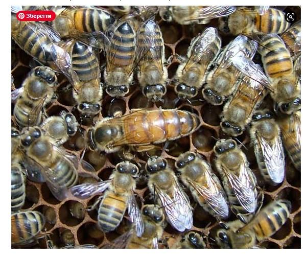Исследование расс пчел Brother Adam Buckfast