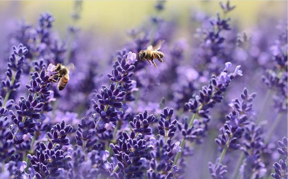 лаванда і бджоли, лаванда, бджоли