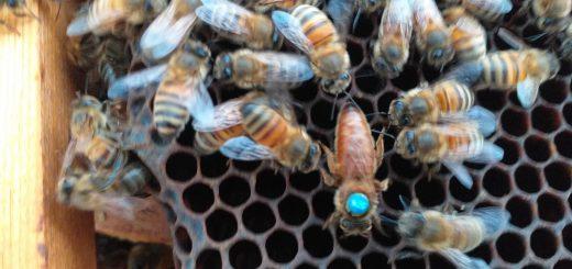 Якість Бджоло маток, Чому покупні матки погано сіють?, Чому бджоломатки трутовіють чи стають трутовками?